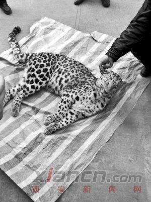 На леопардів, знайдених у окрузі Хуанлінг, на жаль, полюють - Австралія