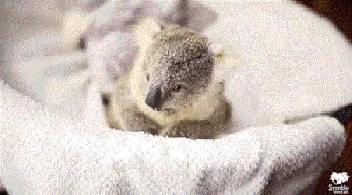 這麼小小的一隻,想摸又不敢摸呢。 蜜袋鼯是一種有袋動物(有袋的溫血動物像袋鼠和沙袋鼠),產於澳洲新幾內亞和南澳洲,大多數時間在樹上活動,舔食樹蜜。蜜袋鼯的身體兩側擁有滑行膜, 從手關節延伸到腳踝,有利它們在樹林間滑行。因為它們外形可愛、較為粘人、可隨身攜帶,被稱為「小蜜」,風靡全球。別名:小飛鼠。