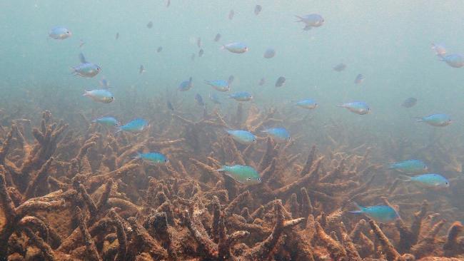 大堡礁遭受史上最严重白化 北部2/3珊瑚已死亡-澳洲唐人街