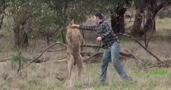 维州小哥靠一把梳子就能撩到一隻無尾熊,这种事一定要列入2017年的愿望清单!-澳洲唐人街