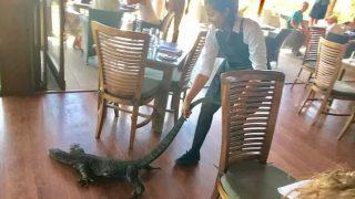 很土澳:新州餐厅惊现2米巨蜥!美女服务员竟面带微笑徒手将牠拖走!