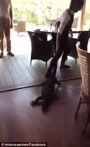 很土澳:新州餐厅惊现2米巨蜥!美女服务员竟面带微笑徒手将牠拖走!-澳洲唐人街