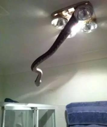 澳洲办公室惊现2米长蟒蛇,女汉子直接徒手将蛇抓走(動圖)-澳洲唐人街