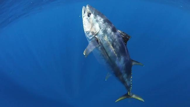 吃貨們準備,人間美味來了:大量巨型蓝鳍金枪鱼游入悉尼港,每條重達200公斤!-澳洲唐人街