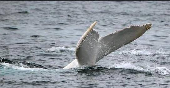 太美了!全球唯一一條白色雄座头鲸在澳洲出现-澳洲唐人街
