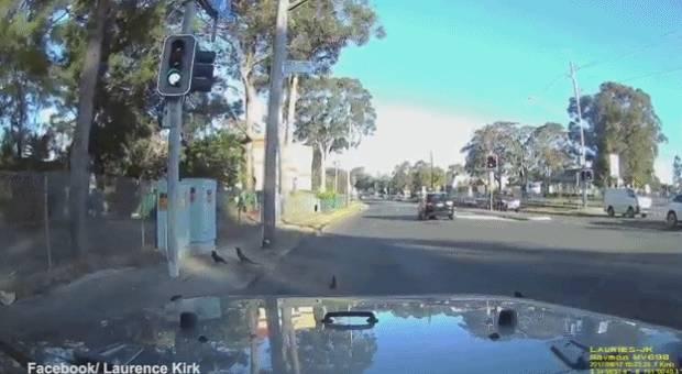 鸭妈妈带宝宝出现在澳洲马路上,然後發生了暖心的一幕-澳洲唐人街