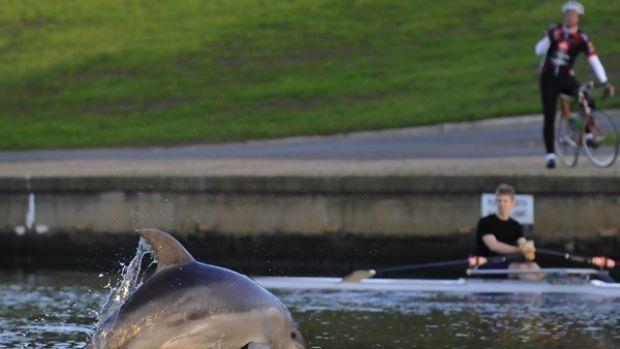 墨爾本市區Yarra River驚現海豚!這樣的景象8年才出現一次-澳洲唐人街
