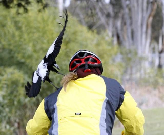 墨尔本喜鹊成精了,专盯着眼睛啄!一天之内5人眼睛被戳穿,血流不止,CBD成重灾区-澳洲唐人街