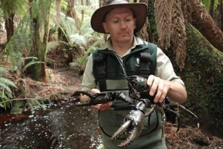像狗一样大的淡水龙虾,澳洲仅有!如今竟快被吃绝种了-澳洲唐人街