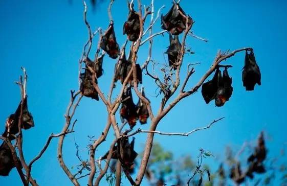 太慘了!澳洲數千蝙蝠樹上睡覺直接被太陽烤熟,屍橫遍野-澳洲唐人街