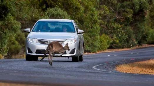 袋鼠從天而降把騎車者砸暈在地,然而看影片後發現這不是意外而是早有預謀-澳洲唐人街