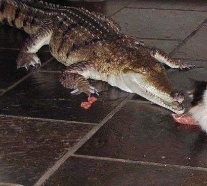 不是一般人!澳洲女子養5條鰐魚當寵物,還同吃同睡!她家肯定沒小偷敢光顧-澳洲唐人街