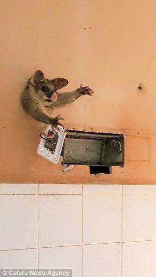 墨爾本女子總聽見家中牆壁內有怪聲,有天她鑿開牆壁看到神奇一幕-澳洲唐人街