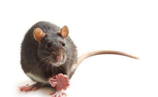 老鼠出没注意!墨尔本多家华人餐厅被曝光,其中几家已被重罚!