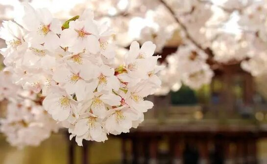 The day after tomorrow is the Cherry Blossom Festival~ A big wave of Mornington fun is rolling in!