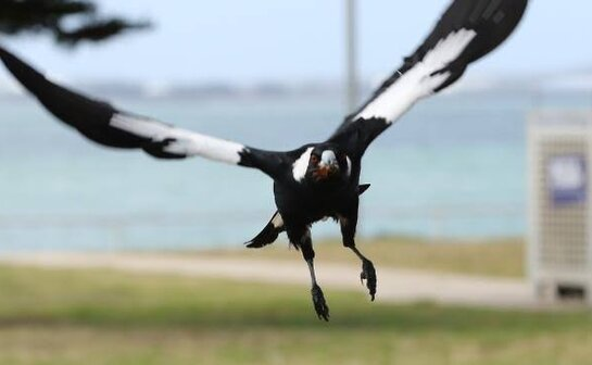 1 dead and 2000 wounded! The Australian Magpie is crazy this year! These places in Melbourne must be avoided recently!