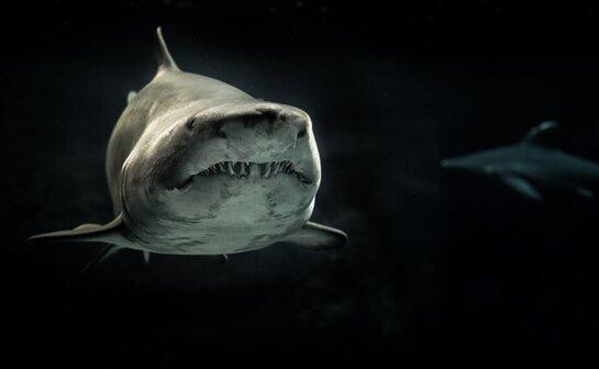Алтан эрэг дээрх нэгэн эр далайн эрэг дээр аялж яваад акулд алагдаж, гуяныхаа доор зөвхөн татсан мах үлдээжээ! ...